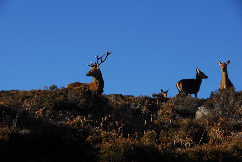 Stags and deer grazing on Rona's mountains.